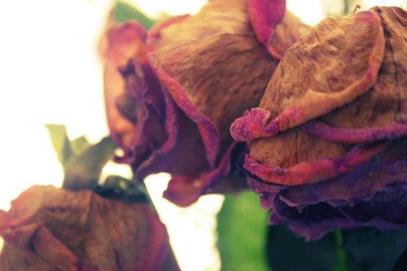 Remember The Beautiful Pink Roses Gareth Bought Me Last Week