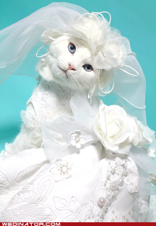 funny cat pictures wedding dress